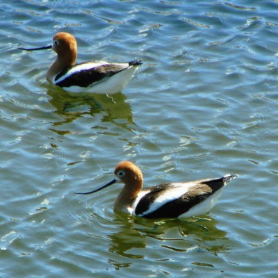 Carrizo Plain avocets