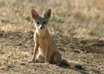 Carrizo Plain kit fox
