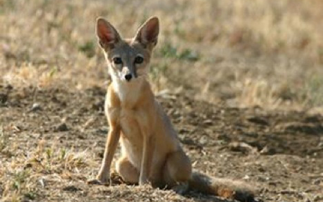 kit fox Carrizo Plain