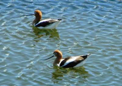 Avocets_SodaLake_satellitepond_2