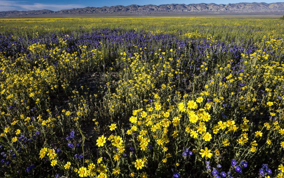 Carrizo Plain Wildflower Report April 16 2017