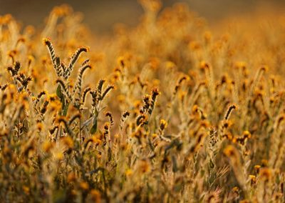 fiddlenecks-morning-light-b