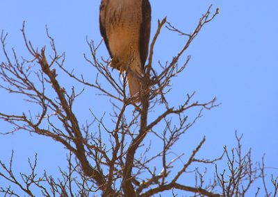 hawk-in-tree-by-esther-livi