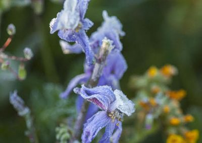 larkspur-morning-frost-by-r