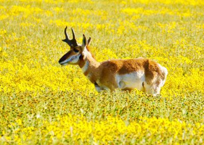 pronghorn-in-superbloom-by-
