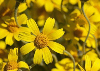 yellow-ray-goldfields-by-ri
