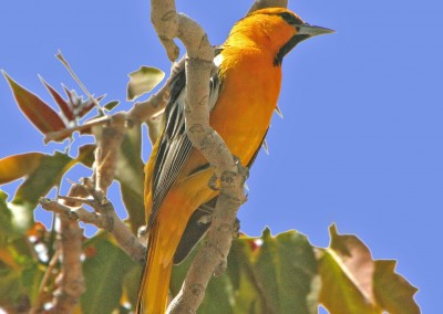Bullock's Oriole by R. Gambs