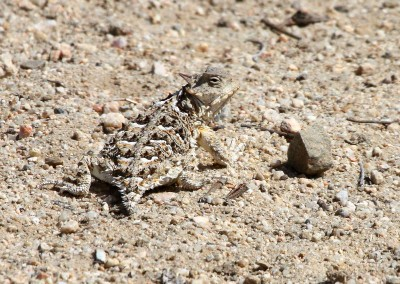 Coast Horned Lizard by R. Gambs