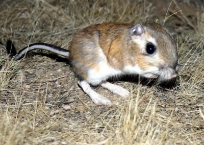 Giant Kangaroo Rat by Jan Randall