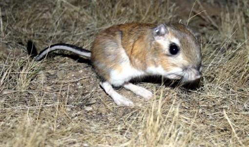 Giant Kangaroo Rat by Jan Randall