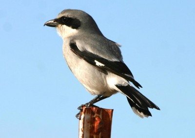 Loggerhead Shrike by R. Gambs