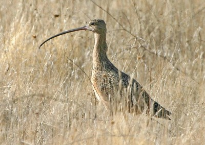 Long-billed Curlew by R. Gambs