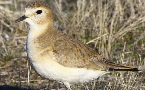 Mountain-Plover-cropped