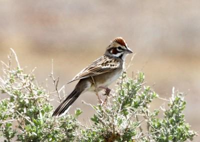 lark sparrow r. gambs