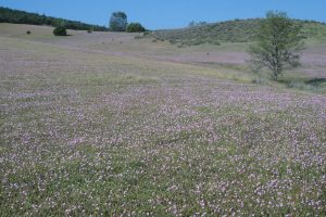 Carrizo Plain Wildflower Report March 5 2017