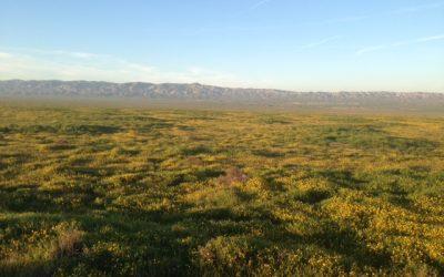 Carrizo Plain Wildflower Report April 1 2017