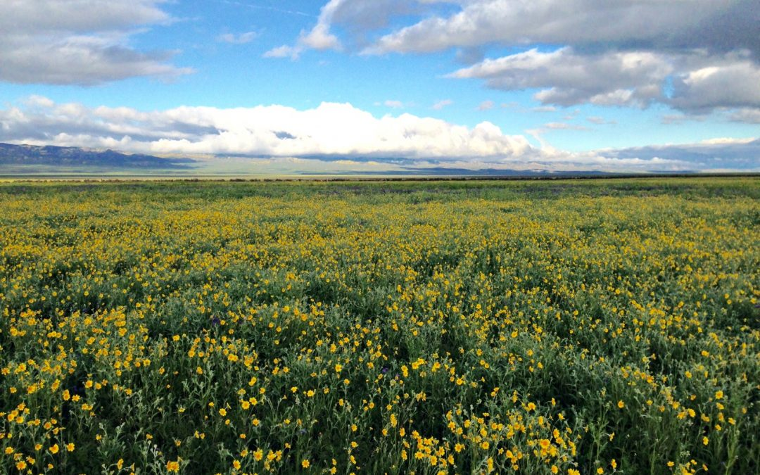 Carrizo Plain Wildflower Report March 26